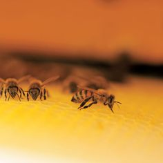 Backyard Beekeeping for Beginners. Backyard beekeeping can provide you with fresh honey and pollinated crops, use these tips to start your own hive. From MOTHER EARTH NEWS magazine.
