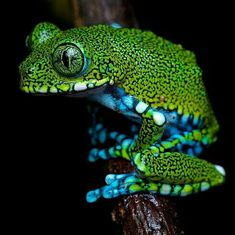The peacock tree frog (Leptopelis vermiculatus) is an endangered species of frog found in forest areas in Tanzania. Funny Frogs, Cute Frogs, Beautiful Creatures, Animals Beautiful, Cute Animals, Geckos, Frosch Illustration, Amazing Frog, Awesome