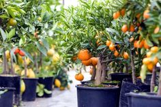 Tips and Tricks for Growing Fruit Trees in Containers