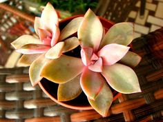 Graptoveria Huth's Pink