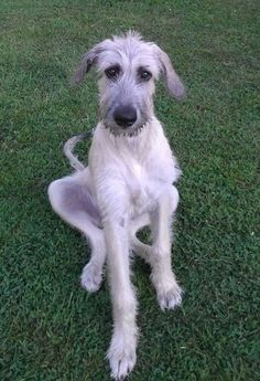 Bedlington Whippet, Lurcher, Irish Wolfhound Puppies, Irish Wolfhounds, Baby Dogs, Doggies, I Love Dogs, Cute Dogs, Hounds Of Love