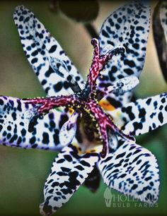 Blue Wonder Toad Lily - a full shade plant will be a new addition to my shaded garden this coming year...