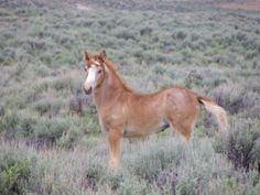 Interesting facial markings on this wild mustang foal - Sand Wash Basin Wild Horses: Astro and Madeleine