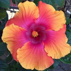 Flower Garden Description Growing hibiscus is an easy way to add a tropical flair to your garden. When you know how to care for hibiscus plants, you will be rewarded with many years of lovely flowers. Tropical Flowers, Hibiscus Flowers, Exotic Flowers, Large Flowers, Fresh Flowers, Beautiful Flowers, Hibiscus Garden, Purple Hibiscus, Tropical Garden