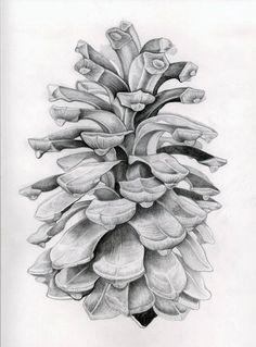 Pine cone drawing. Life drawing of pine cone by Oliver Michael Robertson