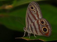 https://flic.kr/p/7pWAU4 | Euptychia marceli, Roche Corail, Guyane,  231209 | Euptychia marceli Satyrinae Nymphalidae  Roche Corail, Kourou Guyane  --  French Guiana  231209