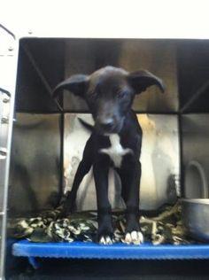 Animal ID\t35292292 \r\nSpecies\tDog \r\nBreed\tRetriever, Labrador\