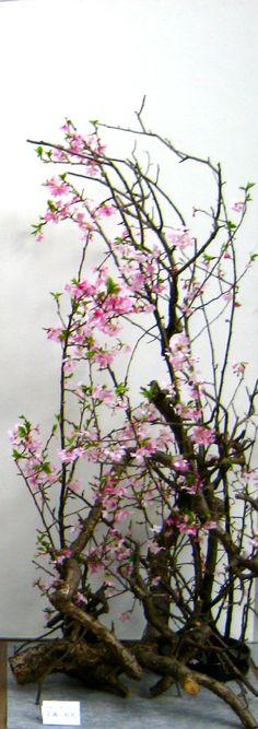 Cherry tree(MIYABI)