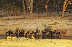 African elephant, Hwange National Park, Zimbabwe  Chris Weston African Elephant, Zimbabwe, Elephants, Filmmaking, Photographers, National Parks, Wildlife, World, Top