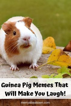 Having Guinea Pigs as pets is super fun! They are funny little creatures that make us laugh every day. Here are some funny memes that tell the story of GP Life! Guinea Pig Food, Pet Guinea Pigs, Guinea Pig Care, Guinea Pig Funny, Guinea Pig Quotes, Pet Care Tips, Dog Care, Kitten Care, Pet Health