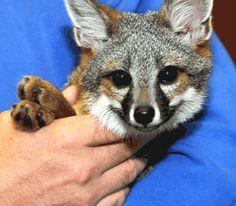 San Clemente Island fox - lol - looks like he's smiling!