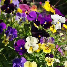 Grow Heirloom Pansies - Plant Pansy Mix SeedsCompact, small and profusely flowering, this Viola Mix offers a variety of colors in their iconic, diminutive style. Flat, open faces in purple, lavender, violet and yellow will grace your garden bed or border. Solid, bi-color and even tri-color pansies fill this mix which makes for a great container plant as well.