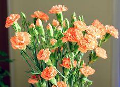 carnations peach | Peach Carnations, Sharp and Vivid, ISO 100 Tripod | Flickr - Photo ...