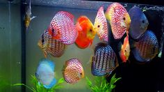 Variety of Domestic Discus in Planted Tank