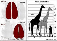 Giraffe (Giraffa camelopardalis) | Wildliferanching.com Giraffe, Animal Illustrations, Vertebrates, First World, Animal Kingdom, Wildlife, Modern, Animals, Felt Giraffe