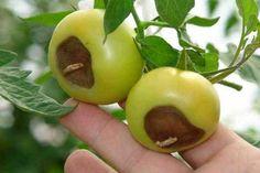 Mana roșiilor – Iată cum poate fi tratată această afecțiune a legumelor Weekend House, Drip Irrigation, Tomato Garden, Garden Projects, Diy And Crafts, Health Fitness, Home And Garden, Gardening, Fruit