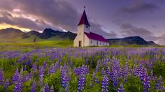 Purple Lupine and Red Church - Wallpaper #34067