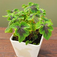 Chocolate Mint Scented Geranium        You'll want to grow this plant where you can easily brush the leaves because of their refreshing minty fragrance. While it doesn't smell of chocolate, the foliage is delightfully splotched with dark purple. It's a great summer annual or houseplant if you have a sunny window.        Name: Pelargonium 'Chocolate Mint'        Growing Conditions: Sun and well-drained soil        Size: To 3 feet tall and wide        Zones: 9-10, but usually grown as an…