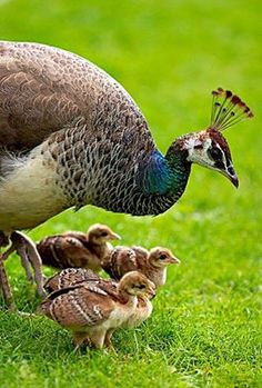 Peacock with babies