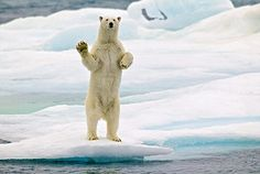"""Polar Bear, Svalbard Islands, Arctic Ocean, Norway.    """"This image was taken from the railing of an expedition ship. The bear approached to check us out, raised himself upright and started to wave his impressive paw."""" -- Photographer Hans Strand"""