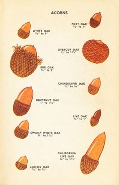 25 DIY Acorn Ideas for Easy & Inexpensive Fall Decor!It's my humble opinion that simple fall decor is the best type of fall decor, and even better if it comes from natural and organic elements-- like the 25 DIY acorn fall decor ideas below.acorn ID (image Garden Trees, Garden Plants, Leaf Identification, Acorn Crafts, Wild Edibles, Edible Plants, Nature Crafts, Herbalism, Seeds
