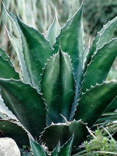 Agave 'Green Goblet' also known as Agave salmina var. ferox 'Green Goblet'