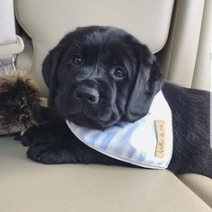 14 Labrador Retrievers Who Know How to Spend Amazing Weekends Labrador Retrievers, Black Labrador Retriever, Retriever Puppy, Cute Labrador Puppies, Cute Dogs And Puppies, I Love Dogs, Corgi Puppies, Havanese Dogs, Labrador Yellow
