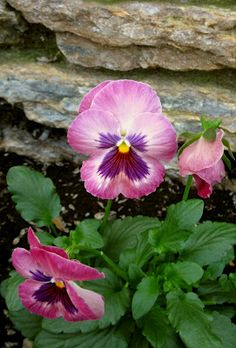 "Pansies have the prettiest little ""faces"""