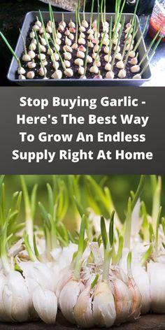 Regrow Vegetables, Container Gardening Vegetables, Herb Gardening, Growing Herbs Indoors, Growing Veggies, Growing Plants, Grow Garlic, Home Vegetable Garden, Cuttings