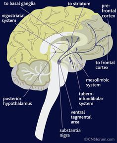 The dopamine pathways in the brain Dopamine is transmitted via three major pathways. The first extends from the substantia nigra to the caudate nucleus-putamen (neostriatum) and is concerned with sensory stimuli and movement. The second pathway projects from the ventral tegmentum to the mesolimbic forebrain and is thought to be associated with cognitive, reward and emotional behaviour. The third pathway, known as the tubero-infundibular system, is concerned with neuro…