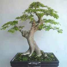 ♣♥Don't you simply love this pretty tree! Jade Bonsai, Bonsai Plants, Bonsai Garden, Bougainvillea Bonsai, Bonsai Ficus, Ficus Tree, Mini Plantas, Artistic Tree, Plantas Bonsai