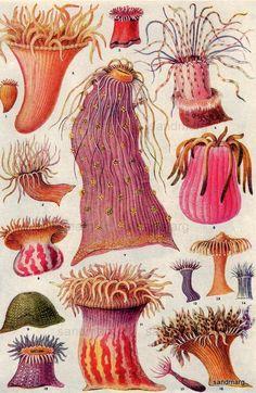 Mediterranean Atlantic European and American Anemones, 1923