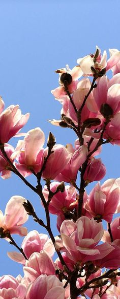 Magnolias - such a beautiful flower!