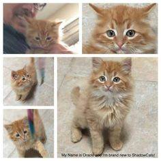 Would anyone be willing to sign up as a sponsor today for Oracle aka Dreamsicle McFluffyButt? He came last week from Williamson County Regional Animal Shelter and is confirmed FeLV positive.  Sponsor here http://shadowcats.net/get-involved/sponsor-a-cat/ #cats #love #instagood #photooftheday #beautiful #cute #happy #fashion #followme #me #follow