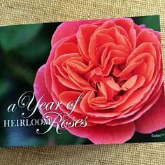 A Year of Heirloom Roses!