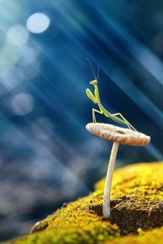 Mushroom: Photograph Praying Mantis by budi. Praying Mantis sat on mushroom basking in the sunshine. Nature Animals, Animals And Pets, Cute Animals, Wildlife Nature, Unique Animals, Beautiful Bugs, Amazing Nature, Beautiful Creatures, Animals Beautiful