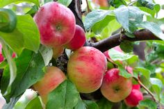 Stayman Winesap Apple Tree