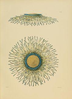 v.8:no.2 (1883) - The Porpitidæ and Velellidæ / - Biodiversity Heritage Library