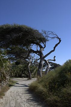 Kiawah Island, SC (near Charleston). Image of a knargled Live Oak. The winds from the sea form these trees into strange shapes.