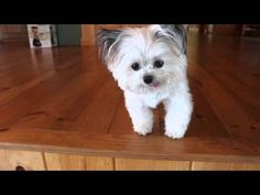 CUTE VIDEO -Norbert is a 3-lb registered therapy dog, philanthropist & children's book author. As a therapy dog, he has volunteered local nursing homes, children's hospitals and special events.
