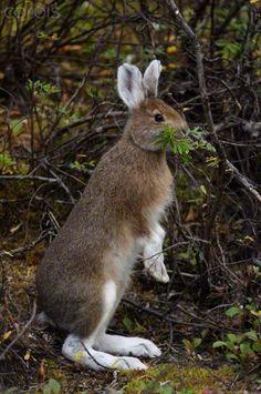 Snowshoe Hare (Lepus americanus) turning white for winter, Alaska