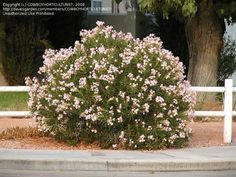 Nerium oleander 'Petite Pink' - a compact evergreen shrub growing to only 4′ tall with a 6′ spread, for best results plant every 4-6′.