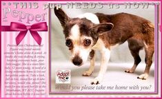 SHE  NEEDS us NOW** Precious little Chihuahua gal Pepper was found outside someone's home alone & scared. At intake she was shaking & crying, breaking everyone's heart, poor little nugget. She is a sweet little lady, 12 years young, still quite spry & very sweet, in need of a loving home!