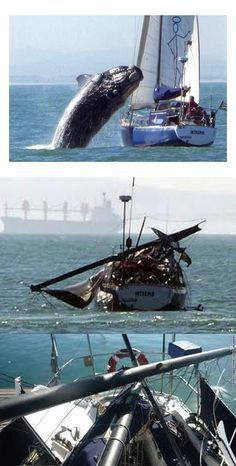 Real - This is apparently a real collision between a sailboat and a juvenile Southern Right Whale, which was breaching, off the coast of South Africa. Although, there are several strange coincidences related to this event. The photos were taken from a boat which happened to be following and had a camera at the ready. The damage doesn't appear to be as extensive as you would think from a whale landing on the midsection of the vessel. No major damage to the hull.
