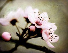 Sakura  11x14 Fine Art Print  cherry blossoms by SeaLilyStudio, $40.00