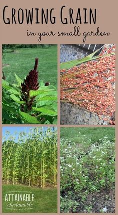 You can grow gluten free grains like amaranth, buckwheat, and sorghum right in your backyard.