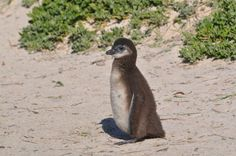 African Penguin Chick Boulders Beach South Africa