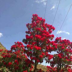Burans Flowers in Uttarakhand | Rhododendron