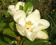 Magnolia Plants | Magnolia grandiflora | Gift and Ornamental Trees for ...