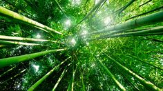 Farming Bamboo To Save African Forests